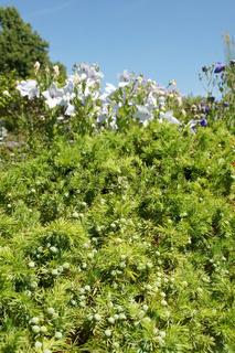 Juniperus conferta, Strand-Wacholder, Shore juniper