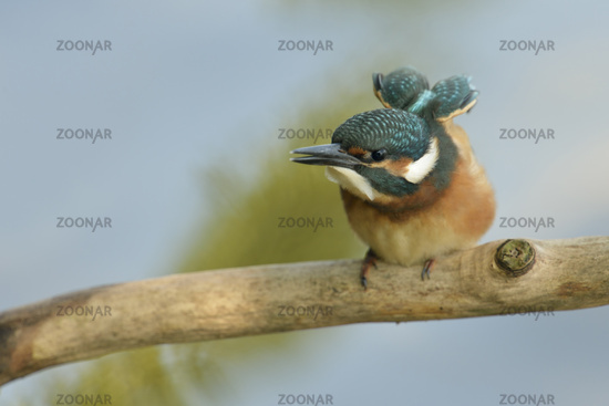 stretching...  Common Kingfisher *Alcedo atthis*