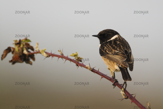 on blackberry tendrils... European Stonechat *Saxicola torquata*