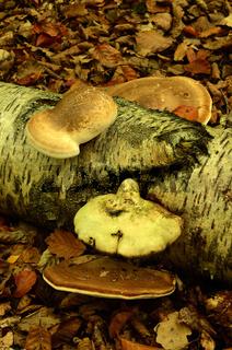 Birkenporling, Piptoporus betulinus