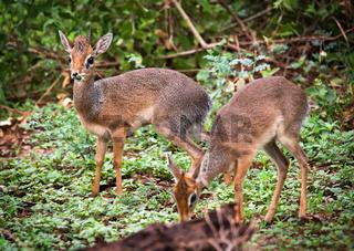 A couple of dik-dik antelopes, in Tanzania, Africa