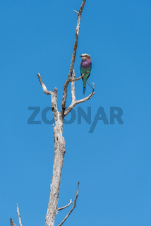 Lilac-breasted roller perched on dead tree branch