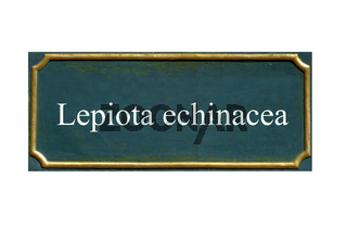 schild, pilz Igel-Schirmling, lepiota echinacea