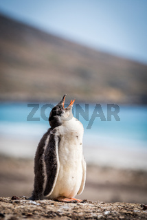 Gentoo penguin calling for mother on shingle
