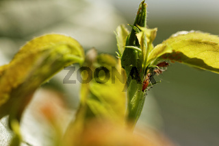 Photo of the small red aphid in the rose