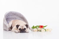 Springtime Pug