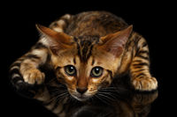 Crouching Bengal Kitty on Black
