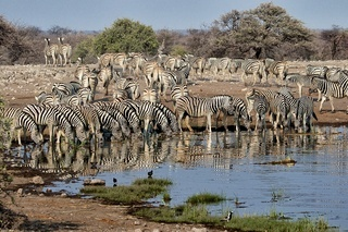 herd of zebras drinking in a waterhole a etosha national park namibia