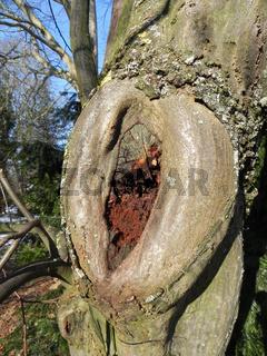Wundkallus, faules Holz, Wundverschluss