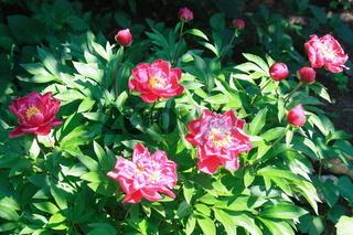 Pingstrosen, Blütentstrauch
