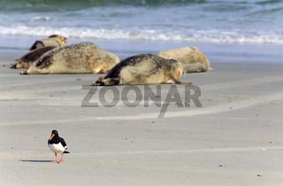 Austernfischer und Seehunde am Strand der Duene Helgoland / Eurasian Oystercatcher and Harbour Seals / Haematopus ostralegus - Phoca vitulina