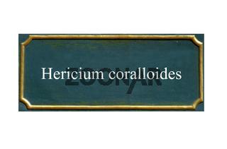 Pilz aestiger Stachelbart, Hericium coralloides