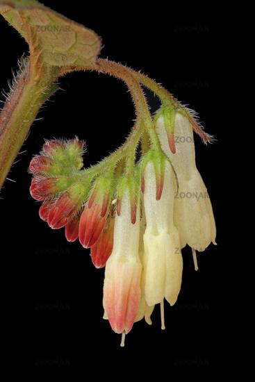 Creeping comfrey (Symphytum ibericum)