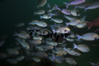 Schwarm Graue Doktorfische, Indonesien