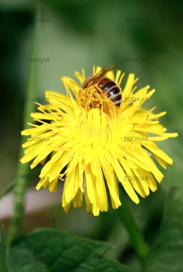 Bee in flower dandelion