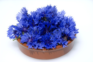 Kornblume; Centaurea; cyanus; Ackerpflanzen; Kornblumen,