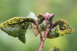 Prunus avium, Süßkirsche, Blattläuse