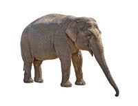 Young she-elephant cutout