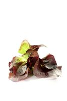 fresh delicious red lettuce
