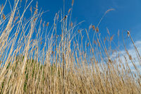 Blurred  background image of yellow, natural  reed