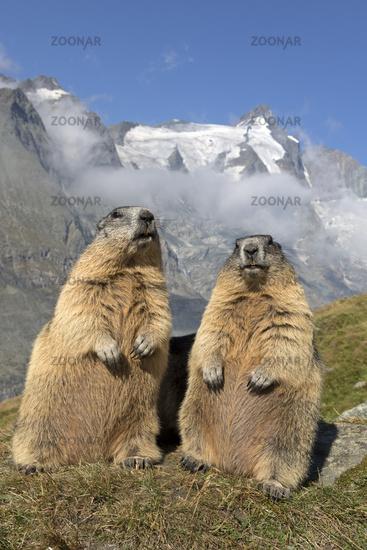 Alpine marmot in front of Großglockner, High Tauern National Park, Carinthia, Austria, Europe / Marm