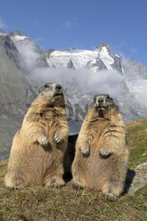 Alpenmurmeltier mit Großglockner, Hohe Tauern, Österreich, Europa / Marmota marmota