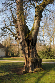 Tilia cordata, Winterlinde, Small-leaved lime, Naturdenkmal