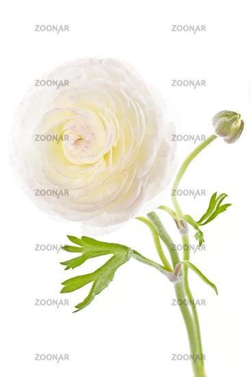Ranunculus Flower or Persian buttercup, Ranunculus asiaticus