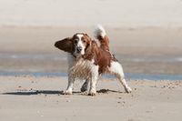 Mongrel on the beach