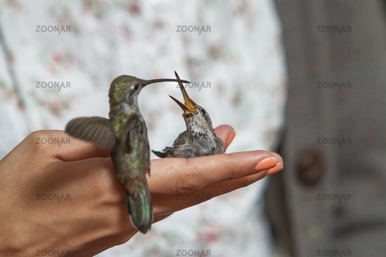 Hummingbirds feeding on the hand of girl
