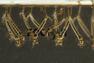 Mueckenlarven, Muecken, Stechmuecken, larven