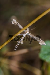 Federmotte (Cnaemidophorus rhododactyla)