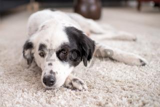 australien shepherd liegt auf einem teppich