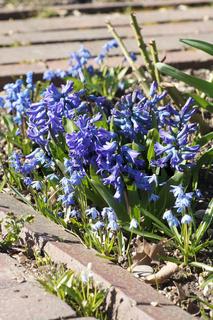 Hyacinthus, Hyazinthe, Scilla siberica