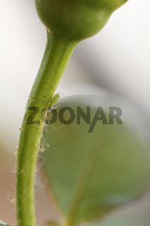 Photo of the small green aphid in the rose