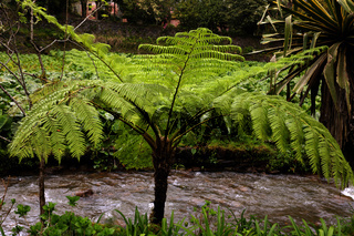 Cyathea cooperi, Baumfarn, Australian tree fern, Sao Miguel, Azores