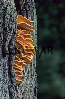 Schwefelporling ist im Jugendstadium essbar - (Gemeiner Schwefelporling) / Sulphur Polypore in juvenile shape edible - (Chicken of the Woods - Sulfur Shelf) / Laetiporus sulphureus
