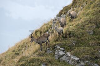 gut behütet... Alpensteinböcke *Capra ibex*