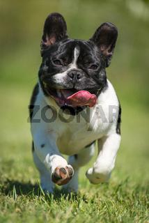 French bulldog on green grass