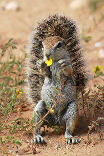 cute ground squirrel at kgalagadi national park