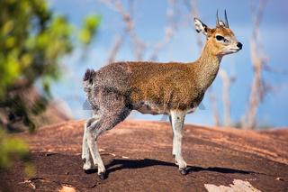 Klipspringer on rock. Serengeti, Tanzania, Africa