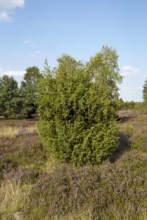 Lüneburger Heide - Landschaft mit Wacholder