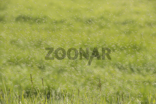 Swarms of mosquitoes over a grass field