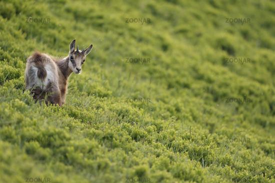 in fresh green... Alpine Chamois *Rupicapra rupicapra*