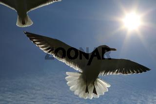 Silbermöwe im Flug, Herring gull, Larus argentatus