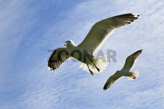 Silbermoewen im Flug, Herring gull, Larus argentatus