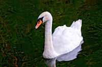 Swan white in the pond