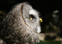 Great grey owl, Strix nebulosa, Europe