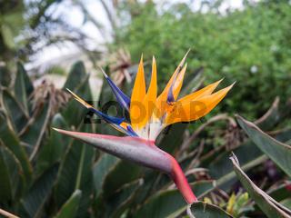 Blüte einer Strelitzie