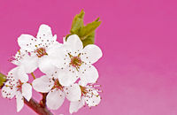 Close up with a white blooming Blackthorn - branch on pink background for highlighting.